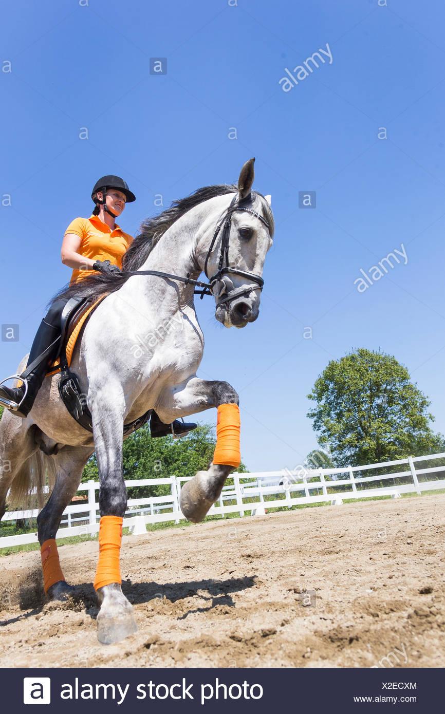 Puro Caballo Español, andaluz. Jinete con menores semental gris galopando en un caballo. Austria Imagen De Stock