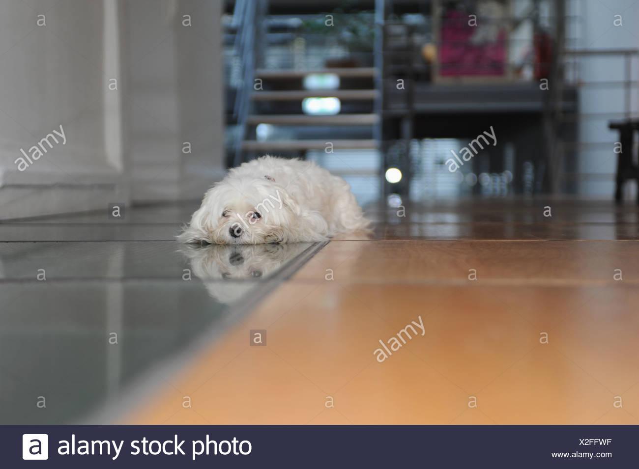 Perro acostado en el suelo de baldosas Foto de stock