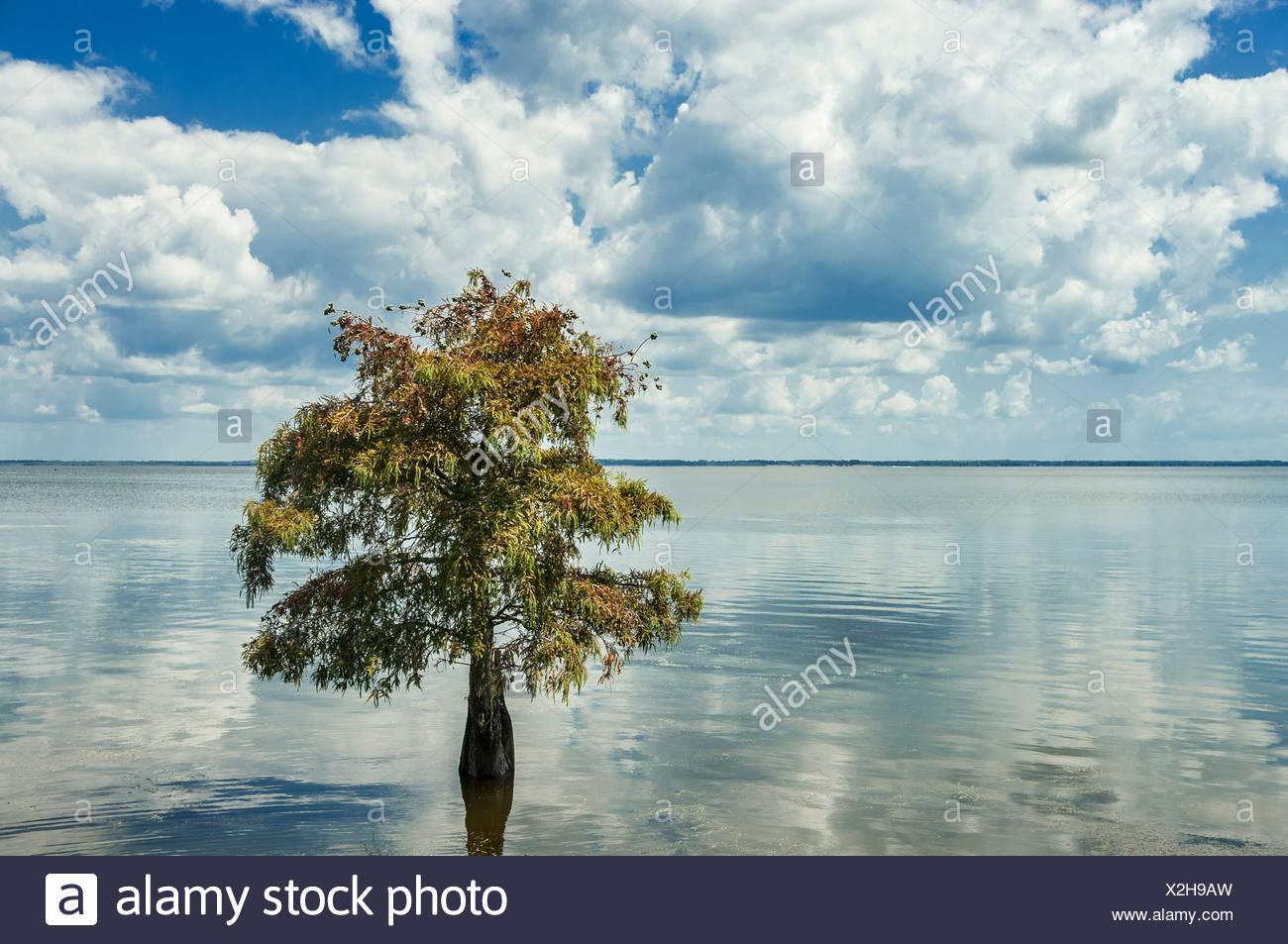 Ciprés solitario en el agua. Taxodium distichum Imagen De Stock