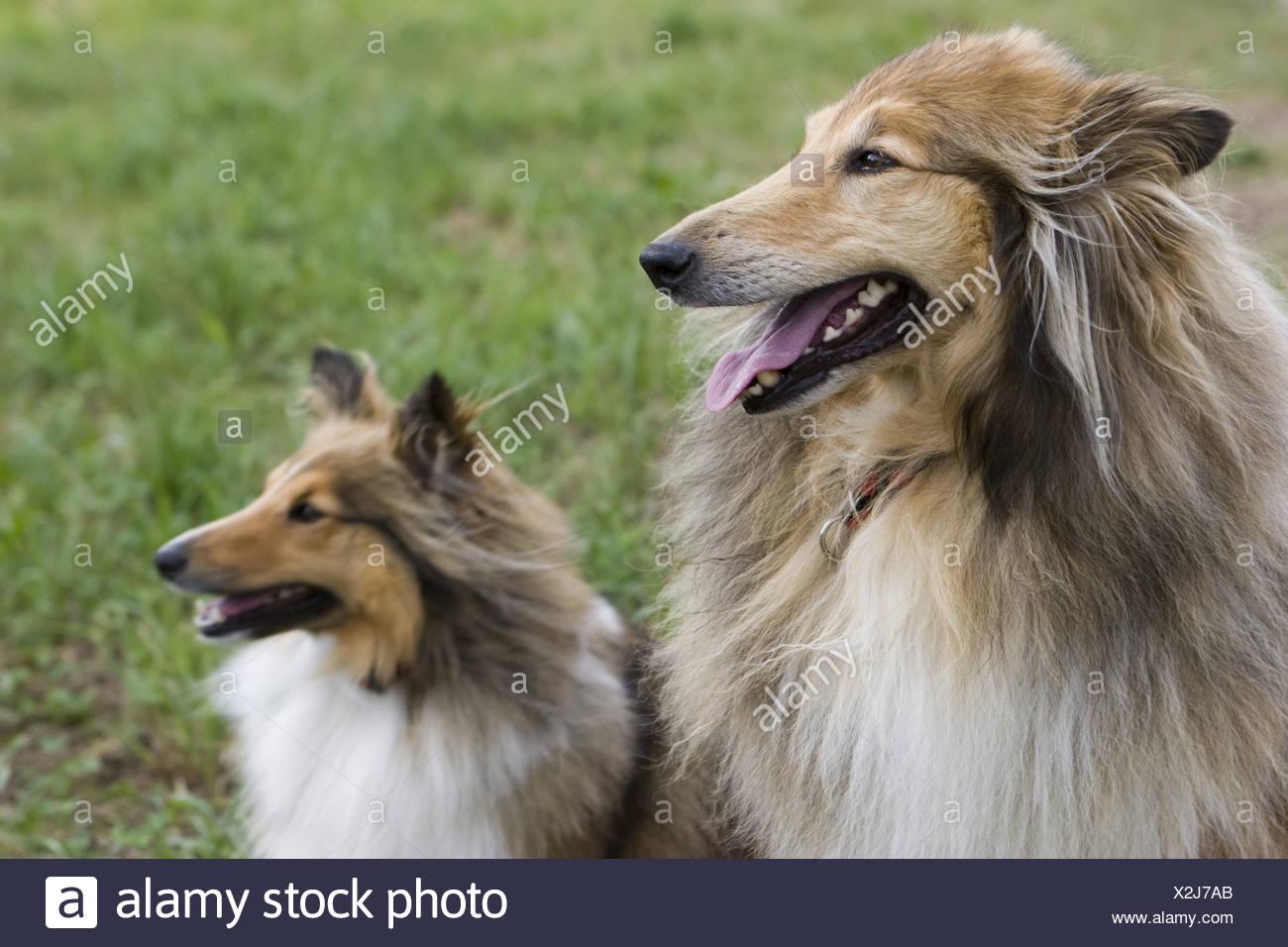 También llamado Long-Haired Rough Collie Collie, un largo revestido de raza de perro de tamaño mediano a grande, y un ovejero Shetland. Un aspecto similar, pero diferentes razas. Imagen De Stock