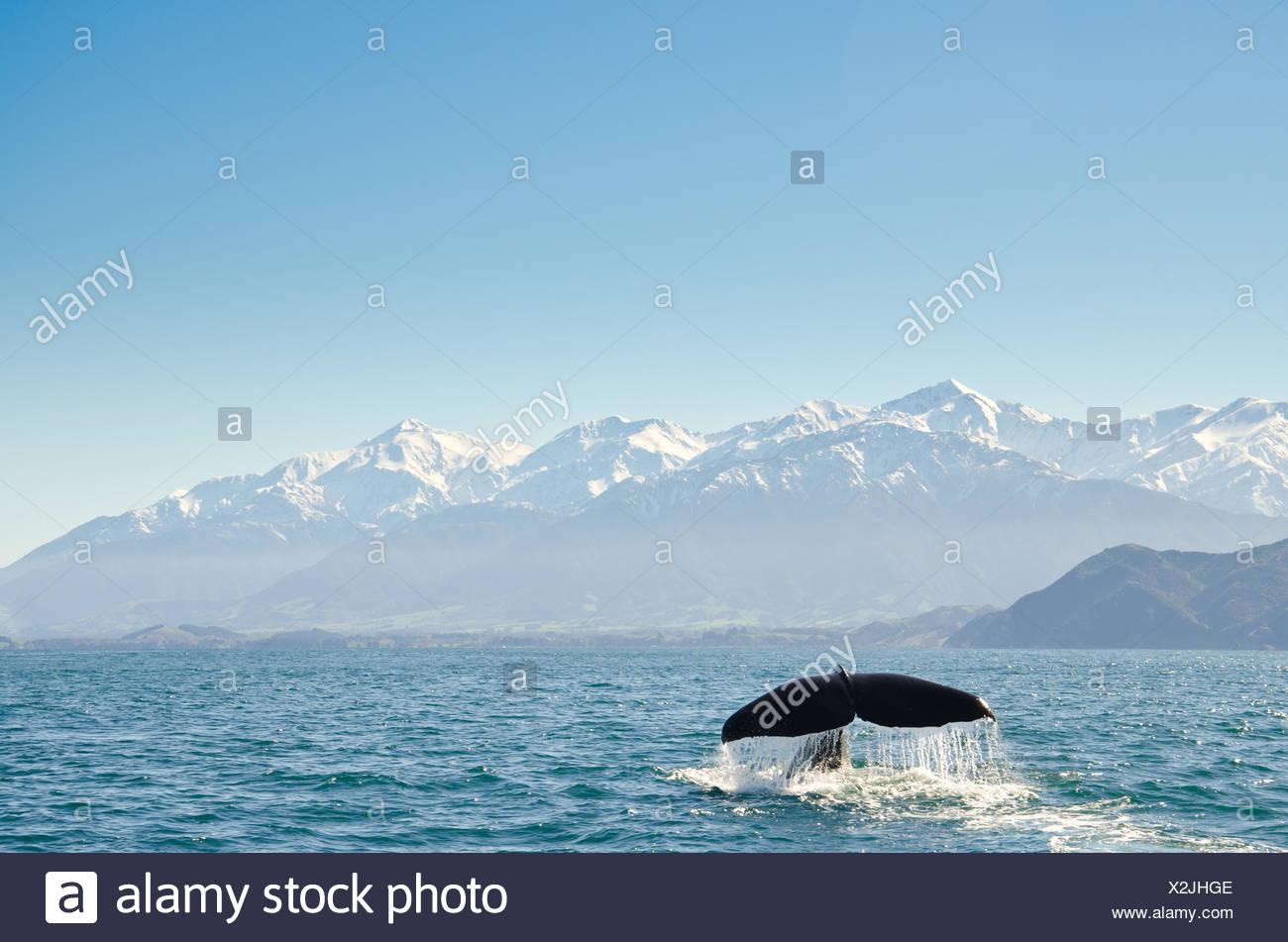 Cola de ballena fluke en el océano, Kaikoura, Canterbury, isla del sur, Nueva Zelanda Foto de stock