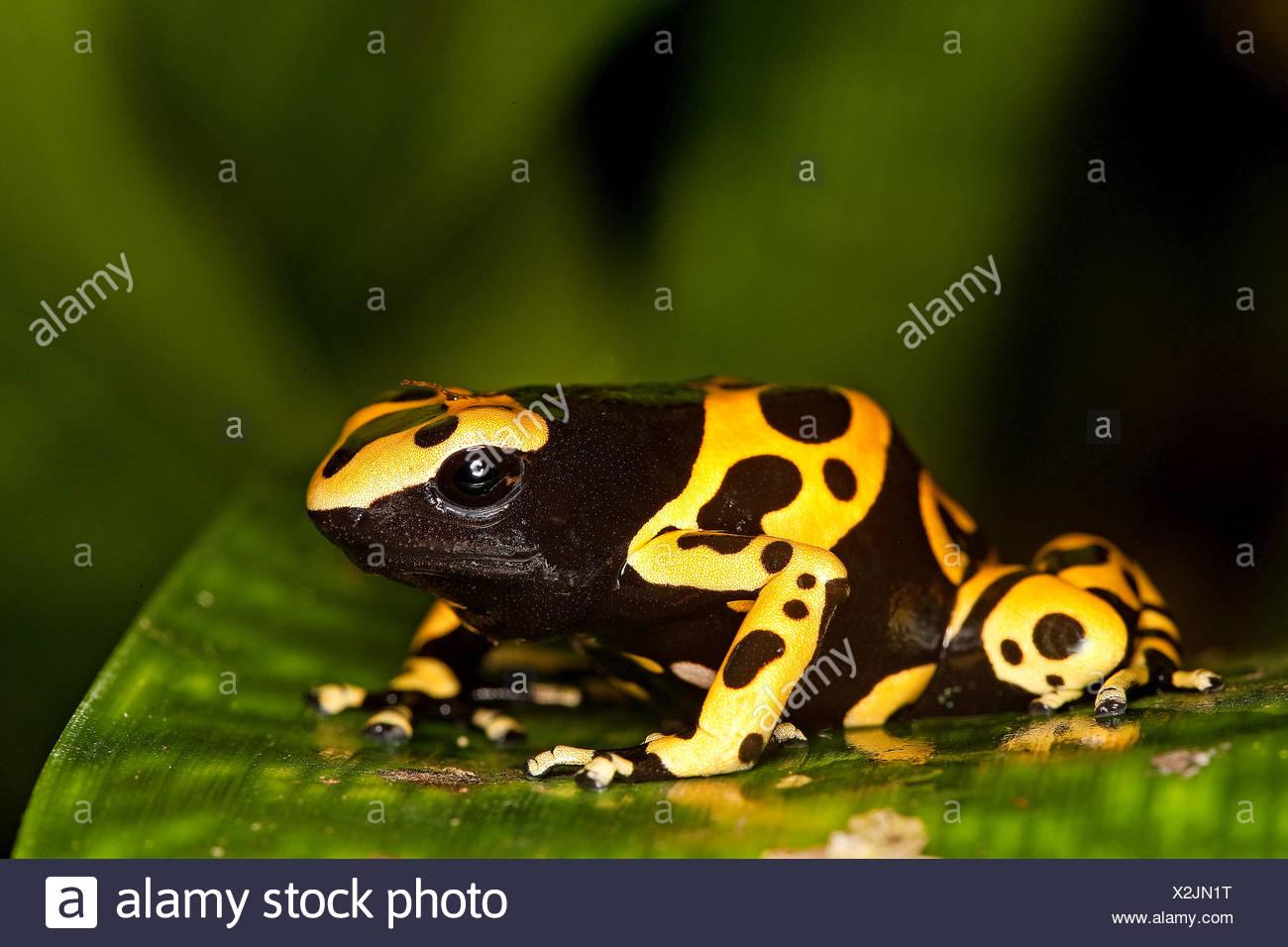 Con banda amarilla Rana, Dendrobates leucomelas Poisson, Venemous Specy desde Sudamérica, adulto Imagen De Stock