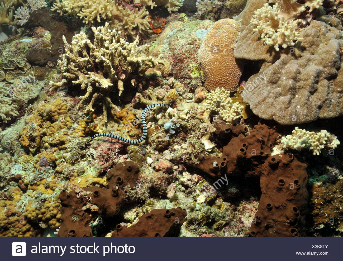 La serpiente de mar en los arrecifes de coral Imagen De Stock