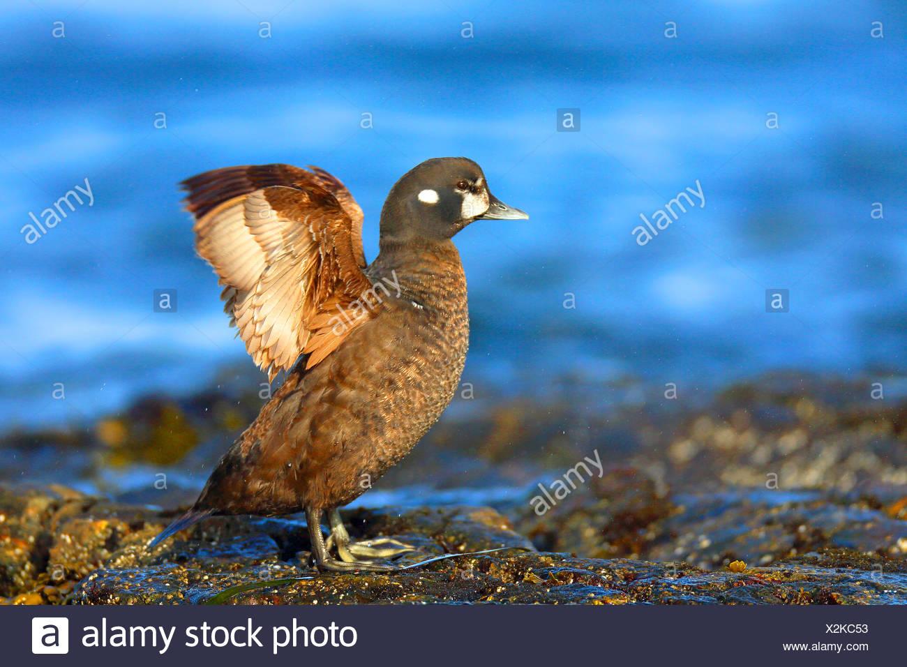 El pato arlequín (Histrionicus histrionicus), hembra se alza sobre una roca en el mar batir las alas, el Canadá, la isla de Vancouver, Victoria Imagen De Stock