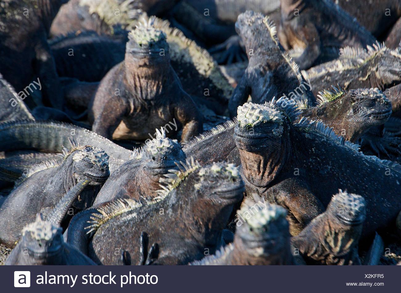 Un montón de iguanas marinas absorben la luz del sol de la mañana. Imagen De Stock