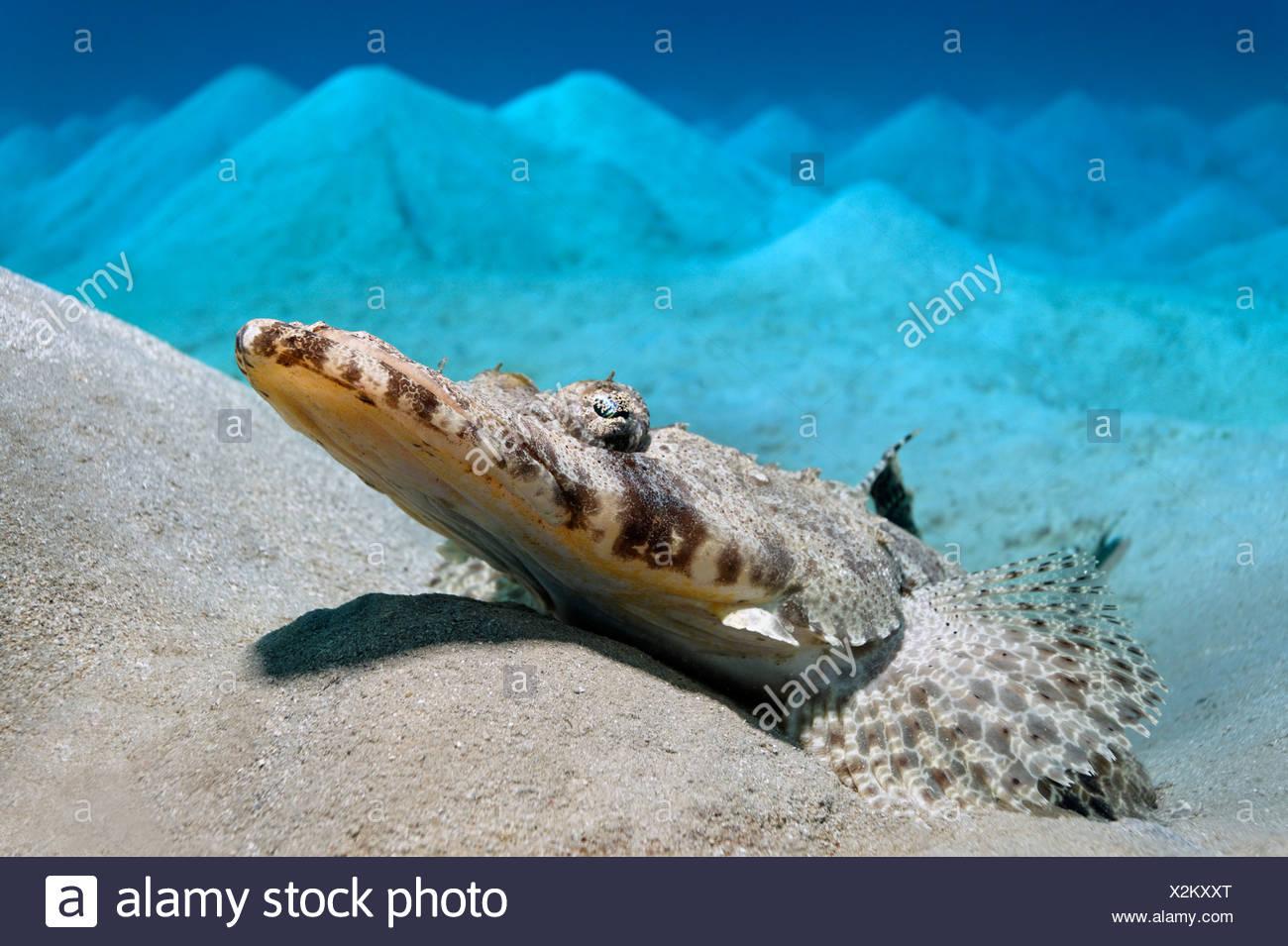 Alfombra de cabeza plana (Papilloculiceps longiceps) tumbado sobre un fondo arenoso, montañoso, Makadi Bay, Hurghada, Egipto, Mar Rojo, África Imagen De Stock