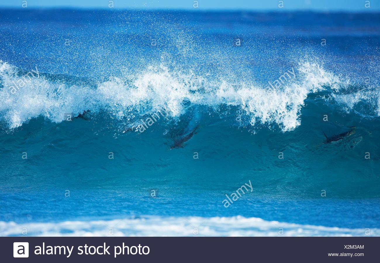 Pingüinos papúa (Pygoscelis papua) olas para practicar surfing, lobos de mar, Islas Malvinas, Islas del Atlántico sur Imagen De Stock