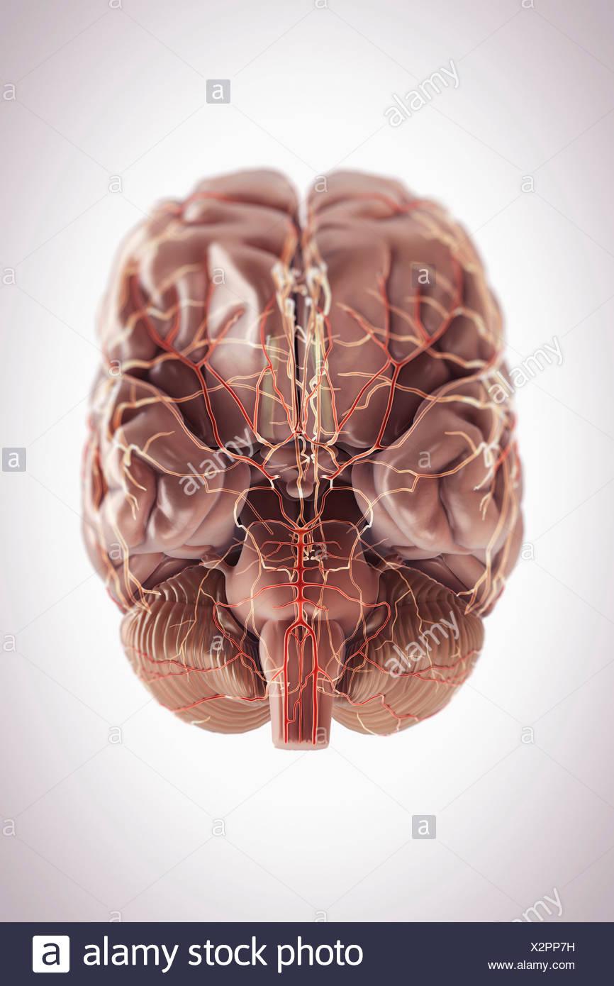 Brain Inferior View Imágenes De Stock & Brain Inferior View Fotos De ...