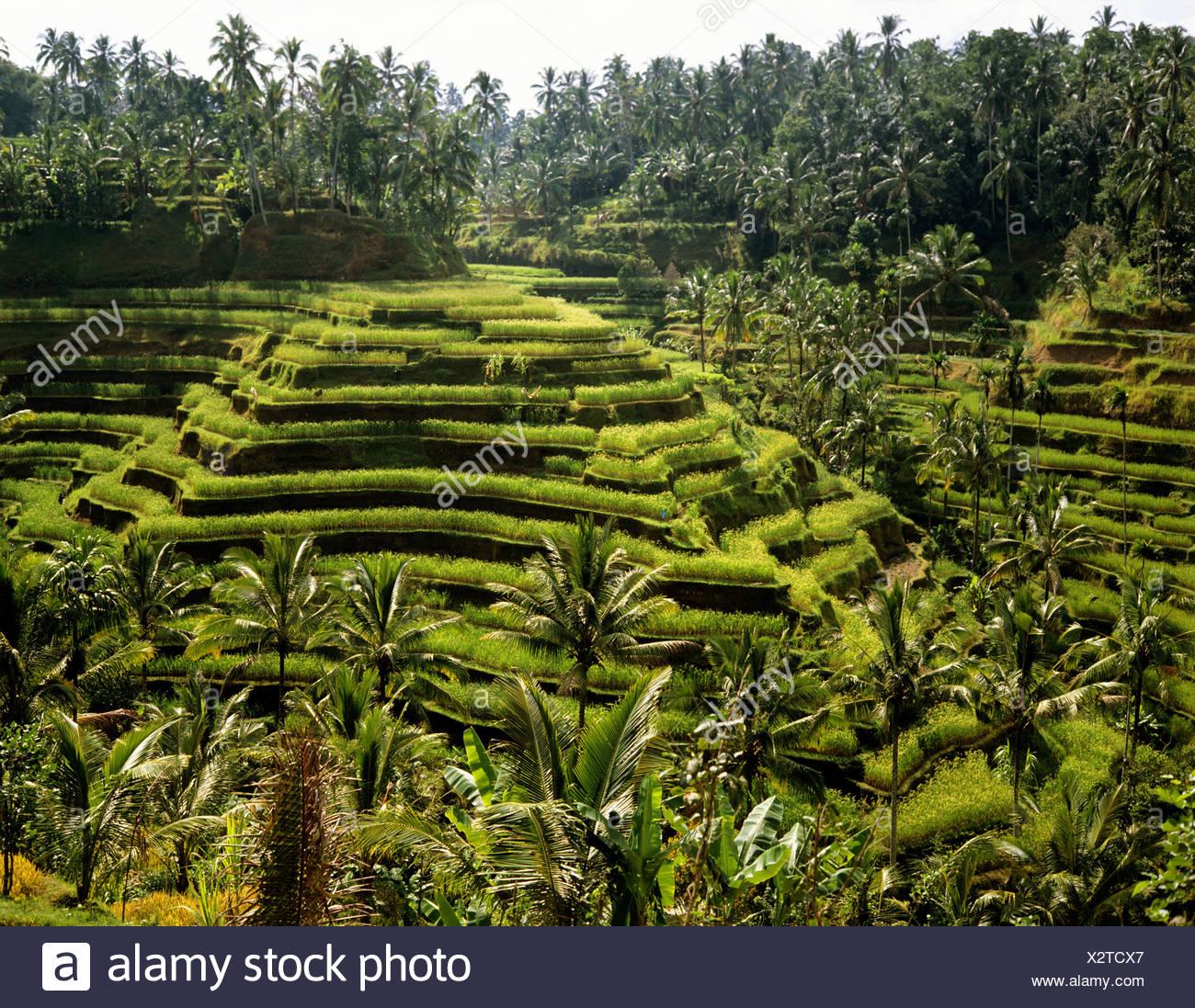 Arrozales cerca de Ubud, Bali, Indonesia, en el sudeste de Asia Imagen De Stock