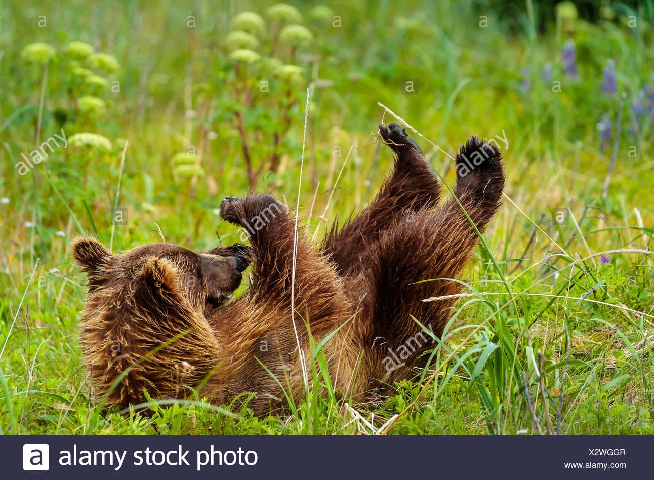 Playtime, costera, oso pardo Ursus arctos, cub rollos en la hierba en Sliver Salmon Creek en Lake Clark National Park, Alaska. Imagen De Stock