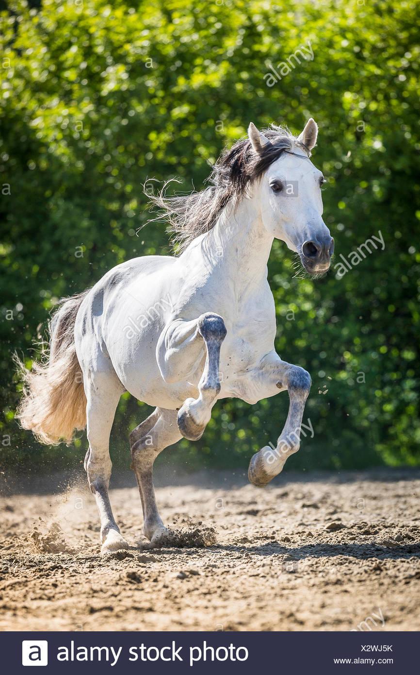 Puro Caballo Español, andaluz. Semental gris galopando en un prado. Suiza Imagen De Stock