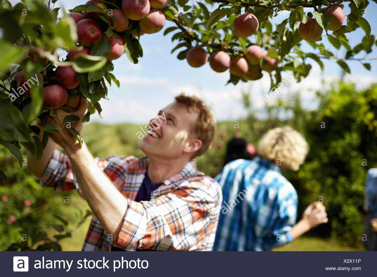 Filas de árboles frutales en una huerta orgánica a un grupo de personas que recogían las manzanas maduras Imagen De Stock