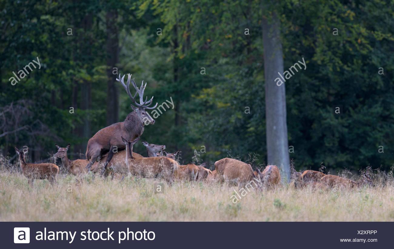 Ciervo rojo (Cervus elaphus), el ciervo de celo, apareamiento, Zelanda, Dinamarca Imagen De Stock