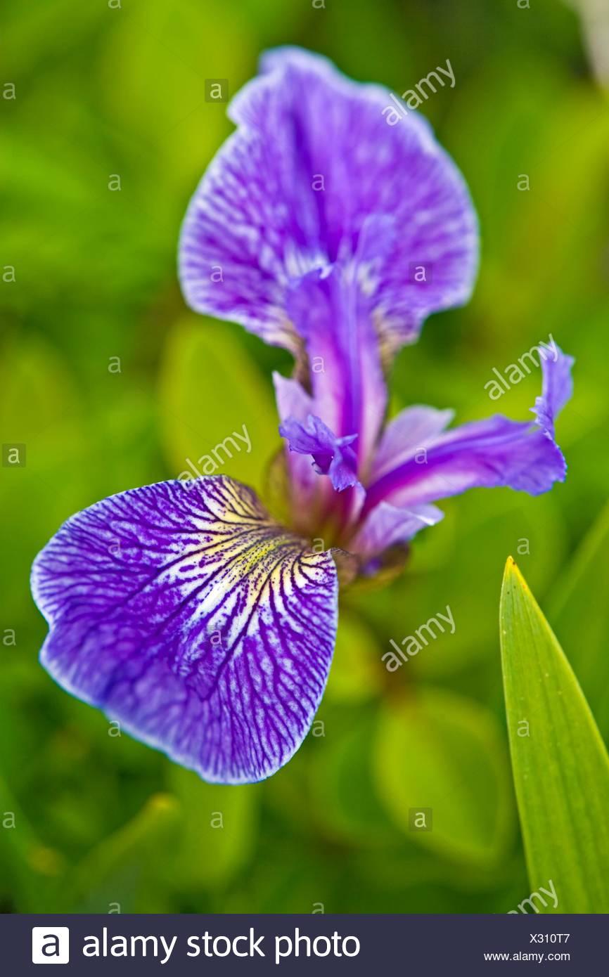 La botánica, la cabeza de playa, Iris Iris setosa, quemado en la Reserva Ecológica de El Cabo, Isla quemada, junto a la autopista 437, Norte de la península, Canadá Foto de stock