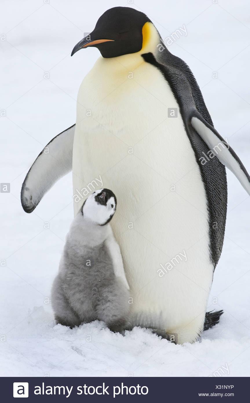 Un adulto de pingüino emperador con un pequeño pollito besar y mirando hacia arriba. Imagen De Stock