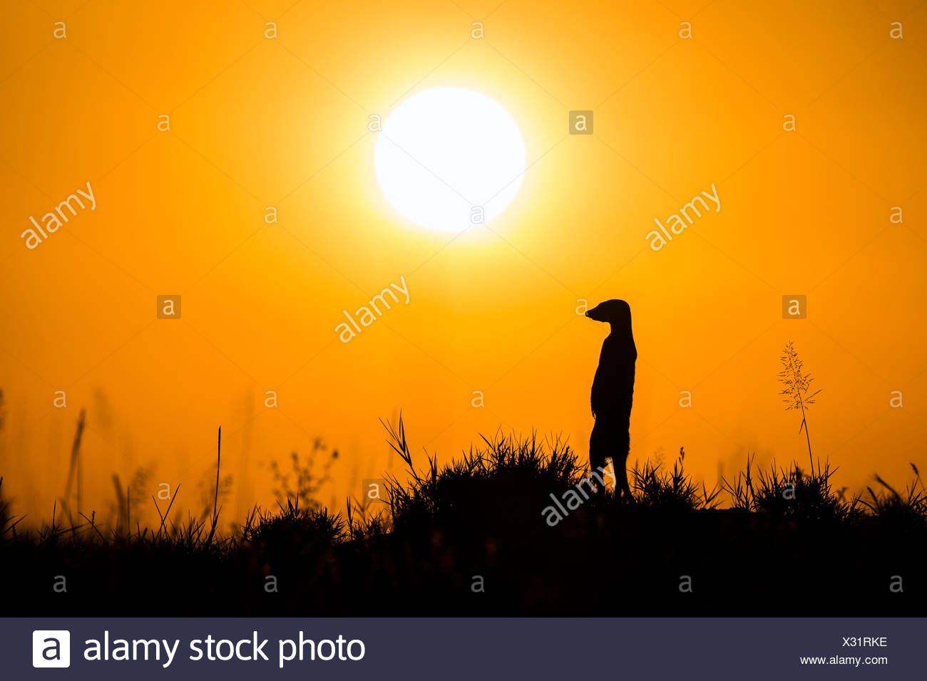 Suricata o (Suricata suricatta) alerta permanente sobre las patas traseras al atardecer, Makgadikgadi Pans en Botswana. Imagen De Stock
