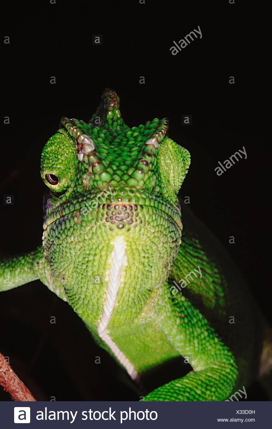 El camaleón tiene la capacidad de cambiar su color, así como sombra dependiendo de su humor y sus alrededores. Chameleon Zeylanicus Imagen De Stock