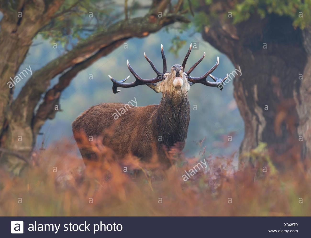 Ciervo ciervo berrea al amanecer, Londres, Reino Unido Foto de stock