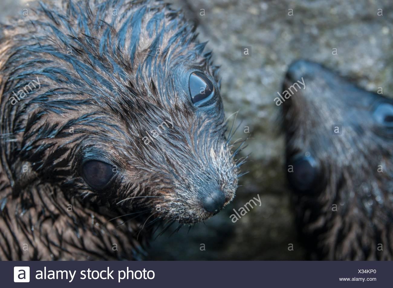 Sobrecarga de cerca de Guadalupe de crías de focas peleteras ;mirando hacia la cámara, Isla Guadalupe, Baja California, México Imagen De Stock
