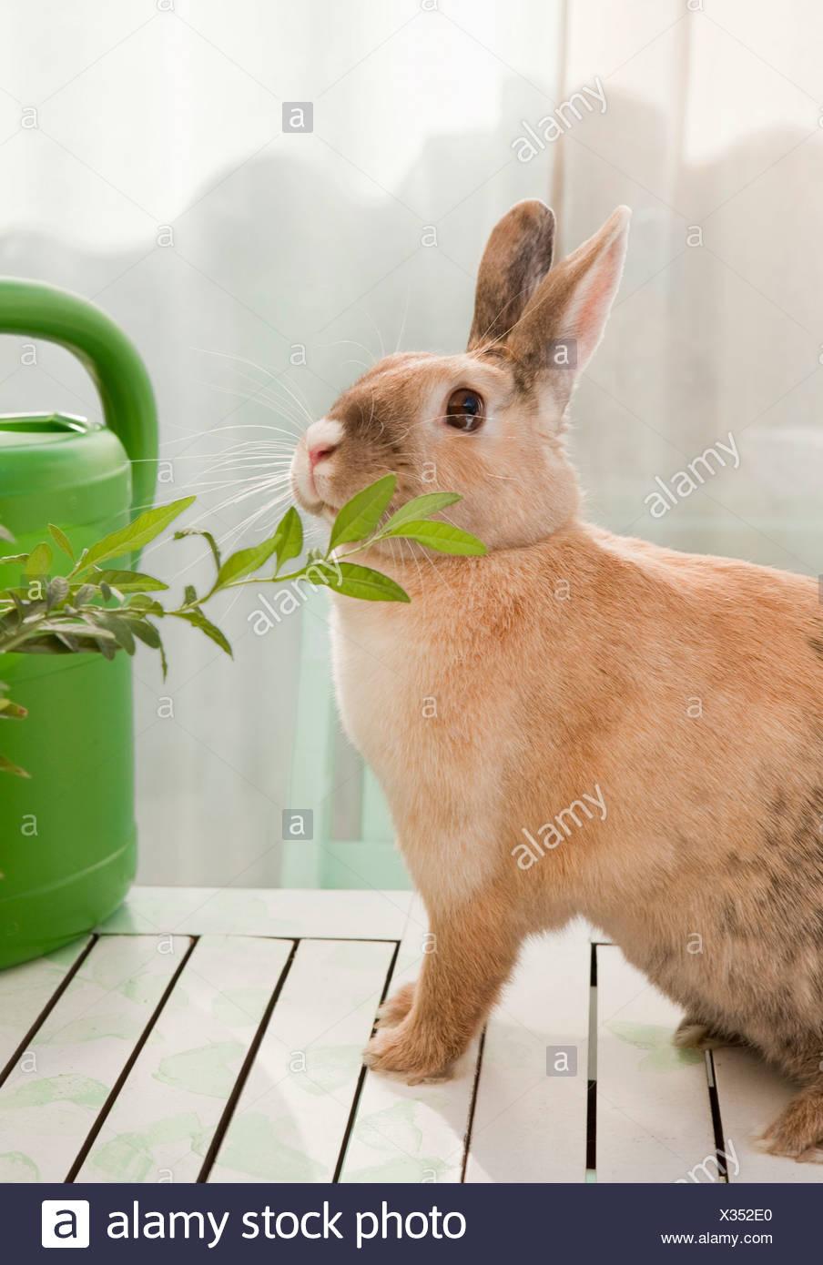 Inhalación de conejo en una sucursal Imagen De Stock