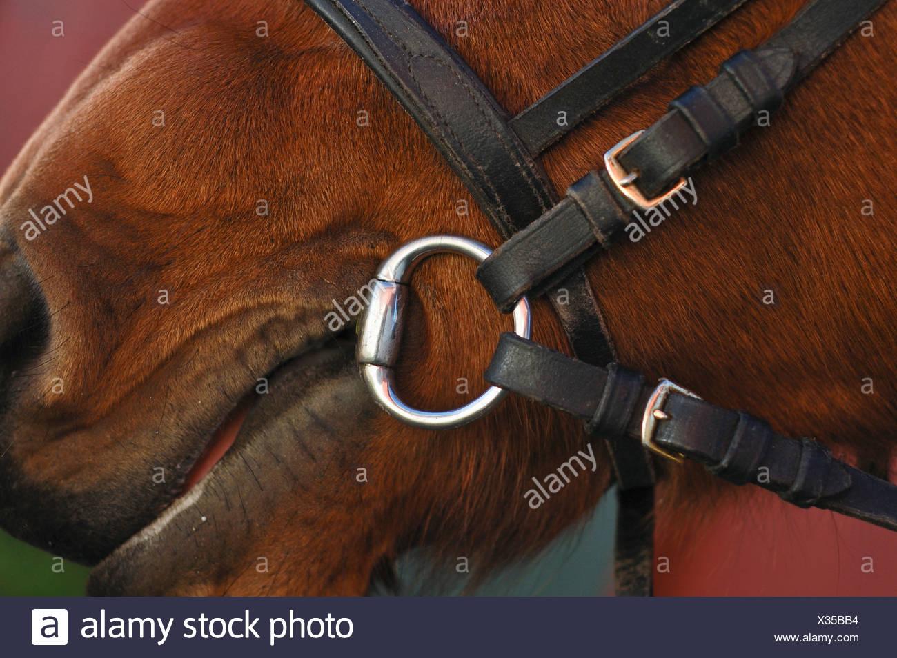 Frenillo del caballo Imagen De Stock