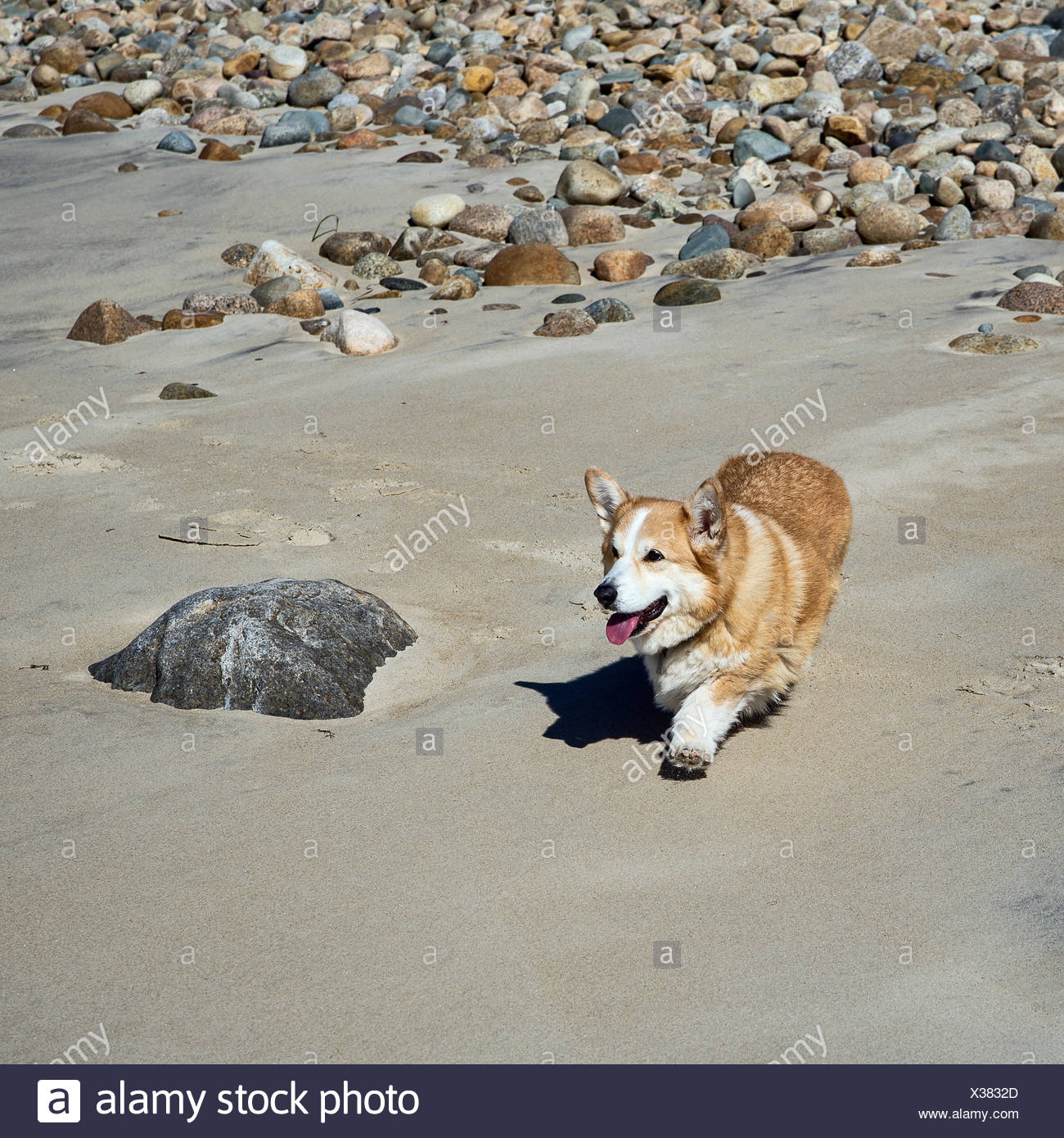 Pembroke Welsh Corgi caminando por la playa. Foto de stock
