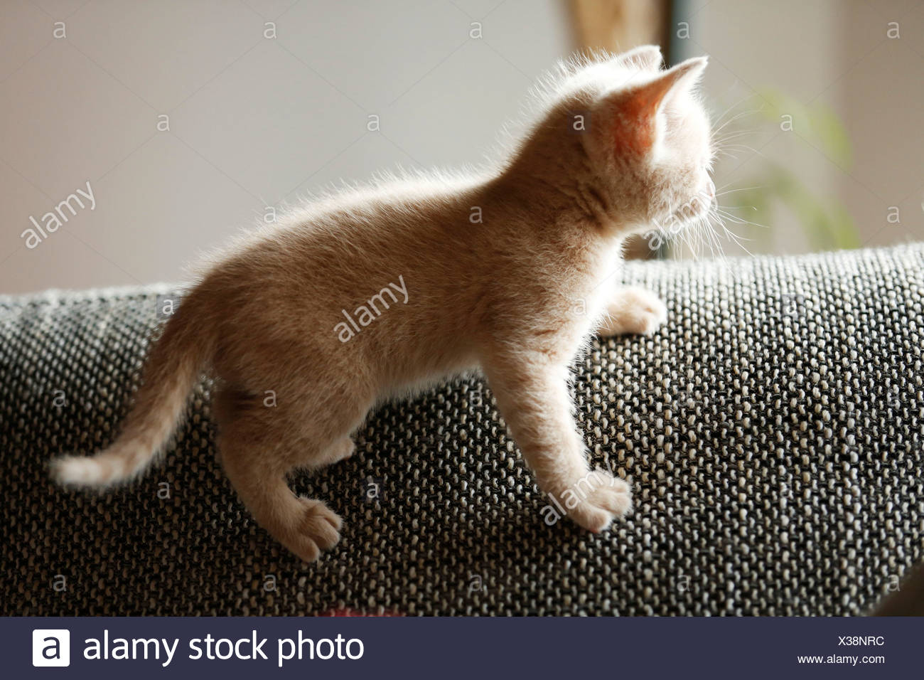 Gatito, 6 semanas, de pie en un sofá Imagen De Stock