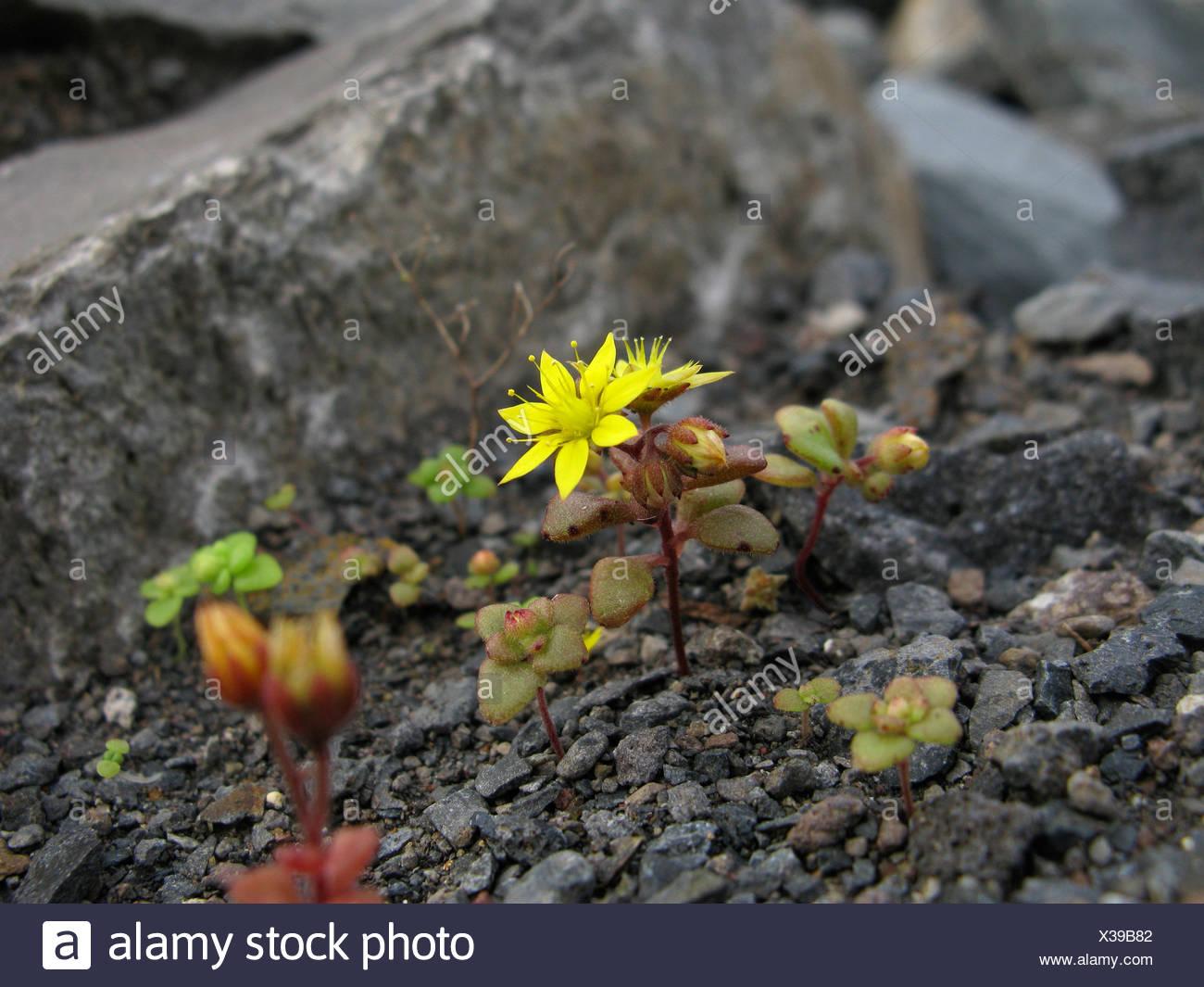 Aichryson (Aichryson punctatum), floreciendo, Islas Canarias, La Gomera Imagen De Stock