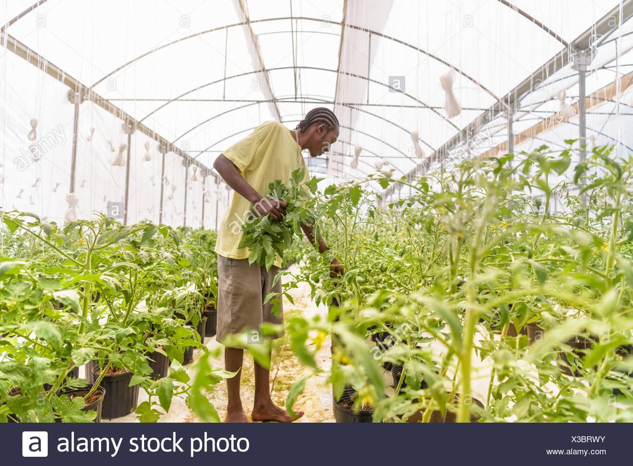 Extracción de plantas de tomate, trabajador retoños laterales en la granja hidropónica en Nevis, West Indies Imagen De Stock