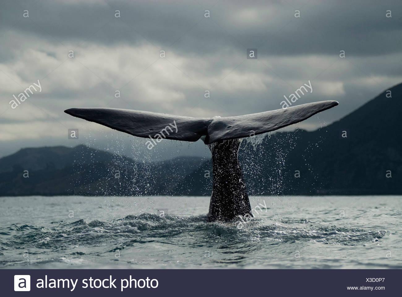 La ballena azul {Balaenoptera musculus} el buceo, cola de Fluke, Kaikoura, Isla del Sur, Nueva Zelanda Imagen De Stock