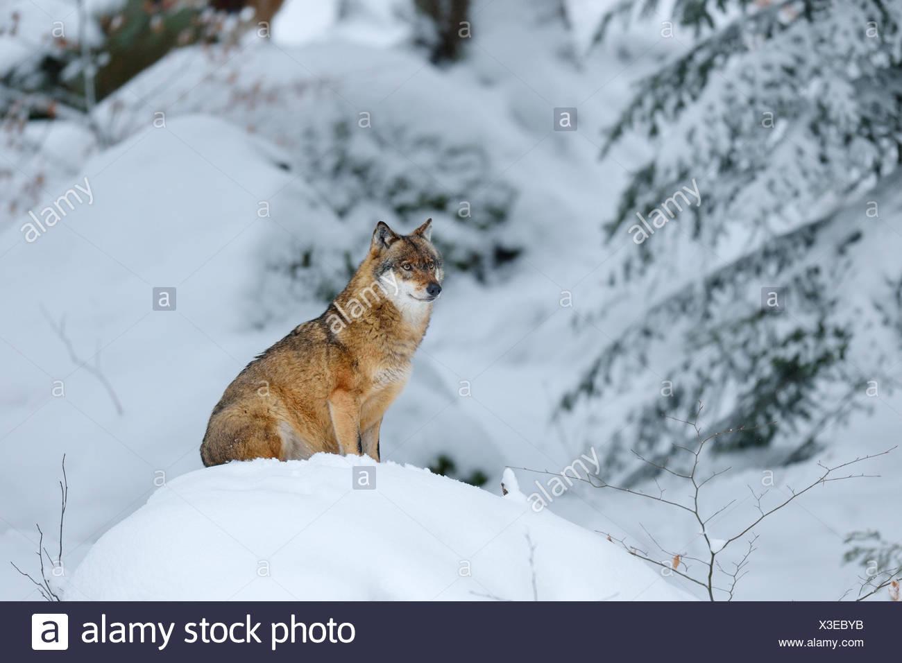 Lobo gris (Canis lupus) sentada sobre un cerro nevado, recintos al aire libre de animales en cautiverio, Parque Nacional del Bosque Bávaro, Baviera Imagen De Stock