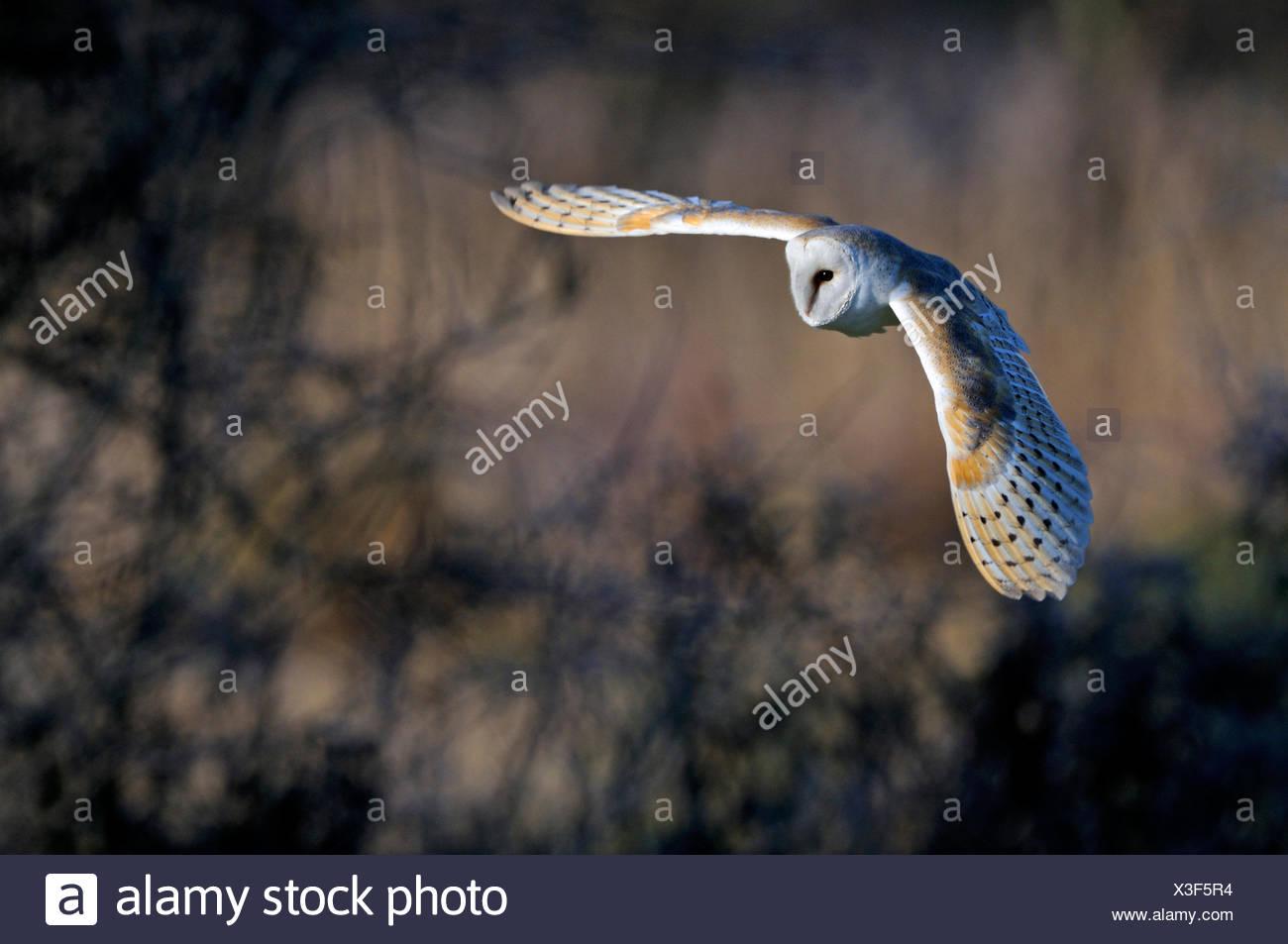 Lechuza Tyto alba Norfolk invierno Imagen De Stock
