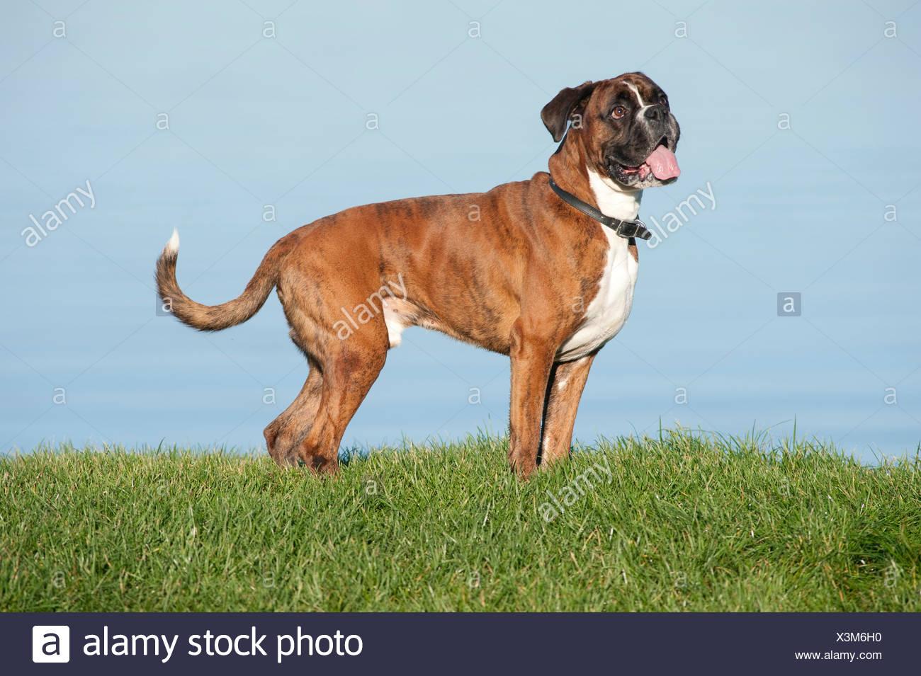 Perro Boxer 7 años UK Foto de stock