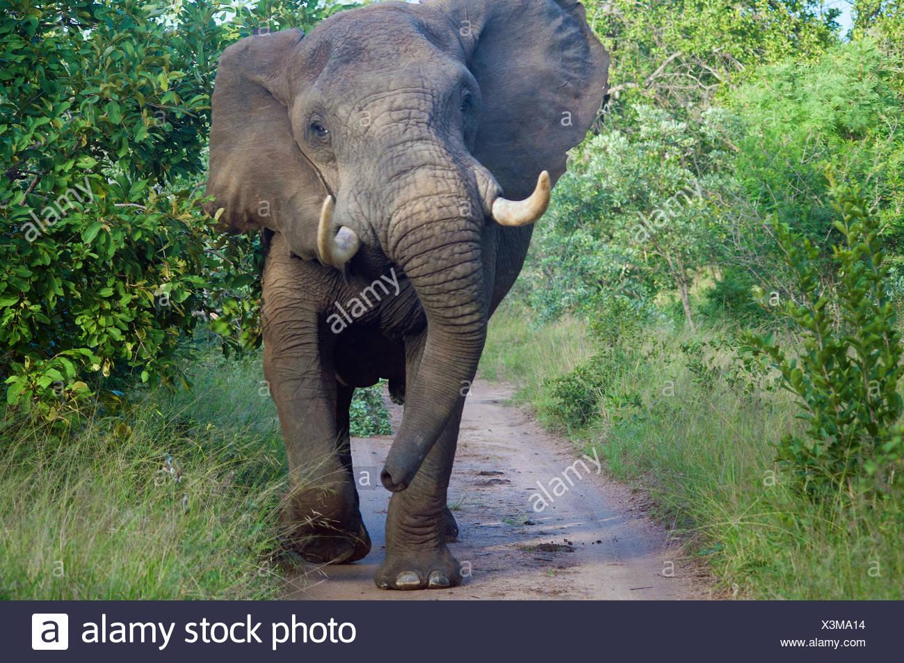 Bull elefante de pie en carretera, Limpopo, Sudáfrica Imagen De Stock