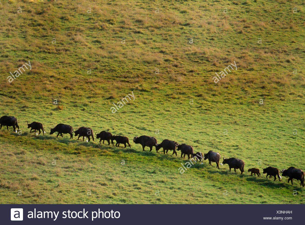 El búfalo africano viven en sabanas y bosques de África central y meridional. Imagen De Stock