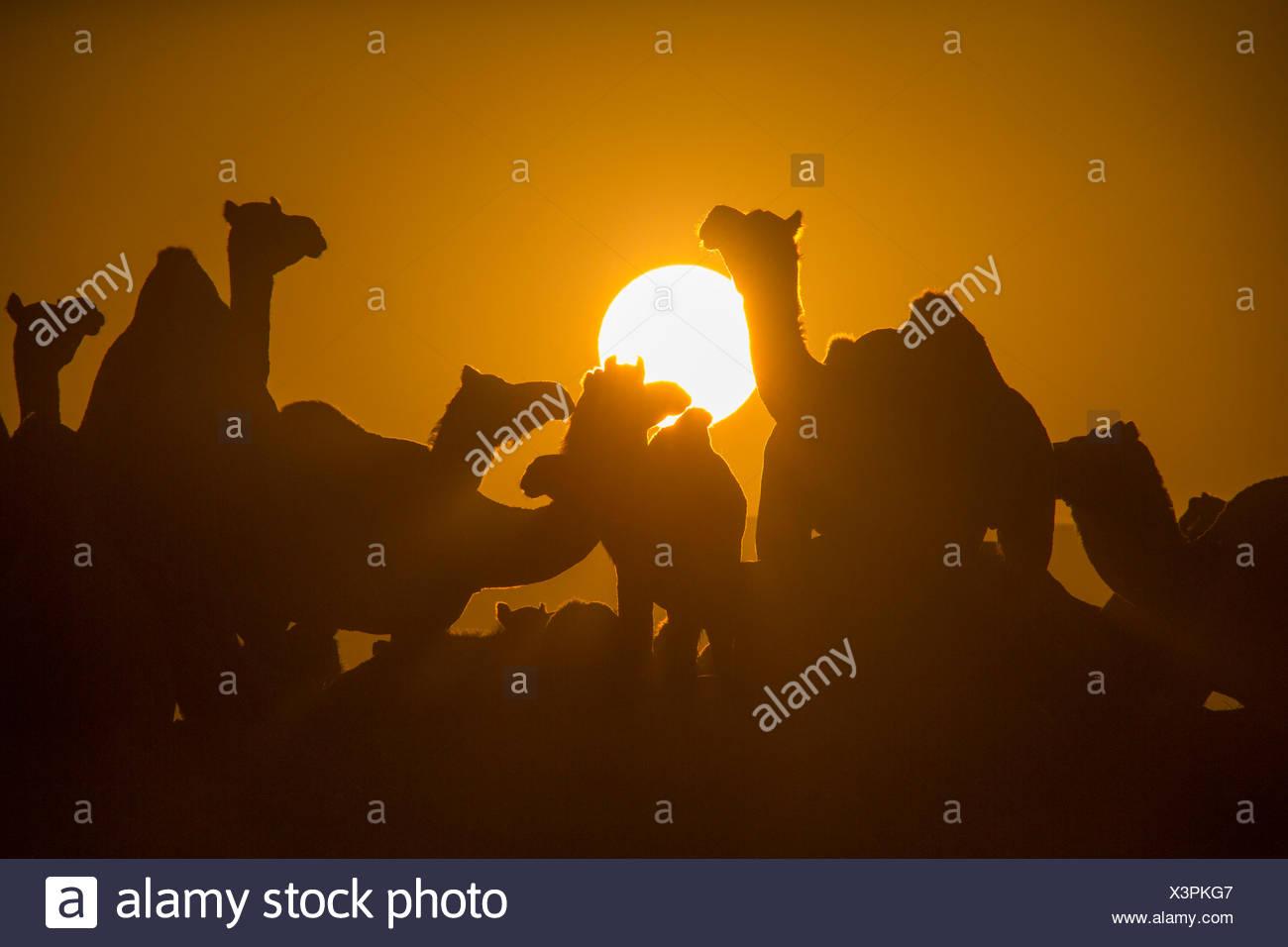 Pushkar Mela mercado de camellos camellos dromedarios Pushkar Rajasthan India Asia India mercado animal animales sundown atardecer Foto de stock