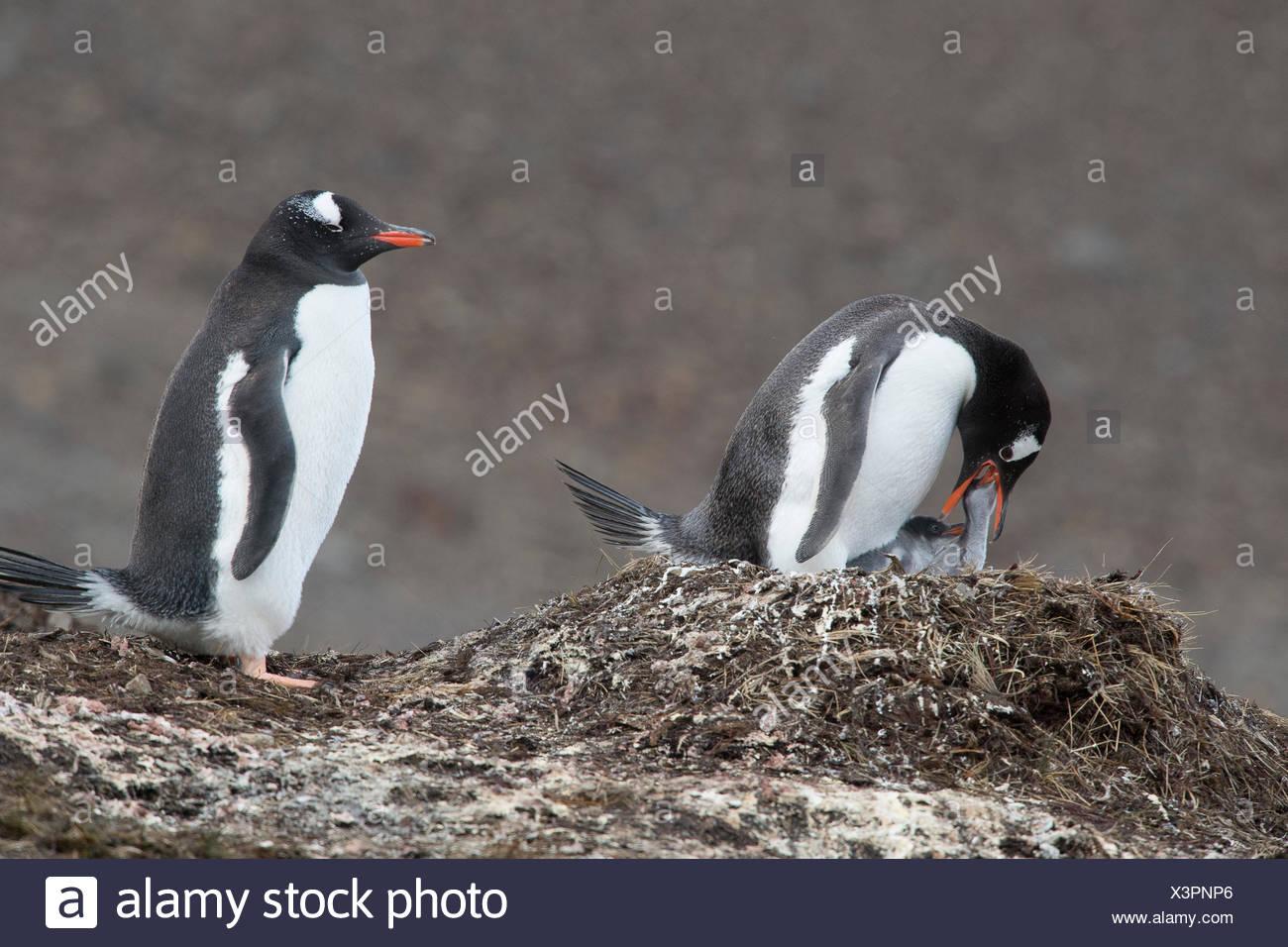 Pingüinos papúa, Pygoscelis papua, criar a sus polluelos de pingüinos en una colonia. Imagen De Stock