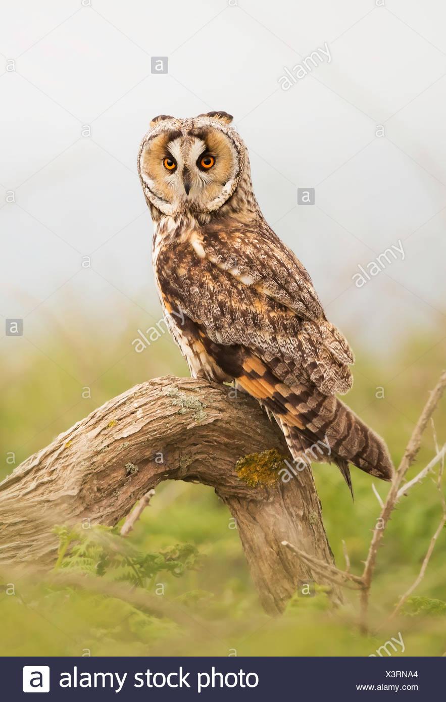 Búho de orejas largas (asio otus) posado en una rama, Jersey, Islas del Canal, REINO UNIDO Imagen De Stock