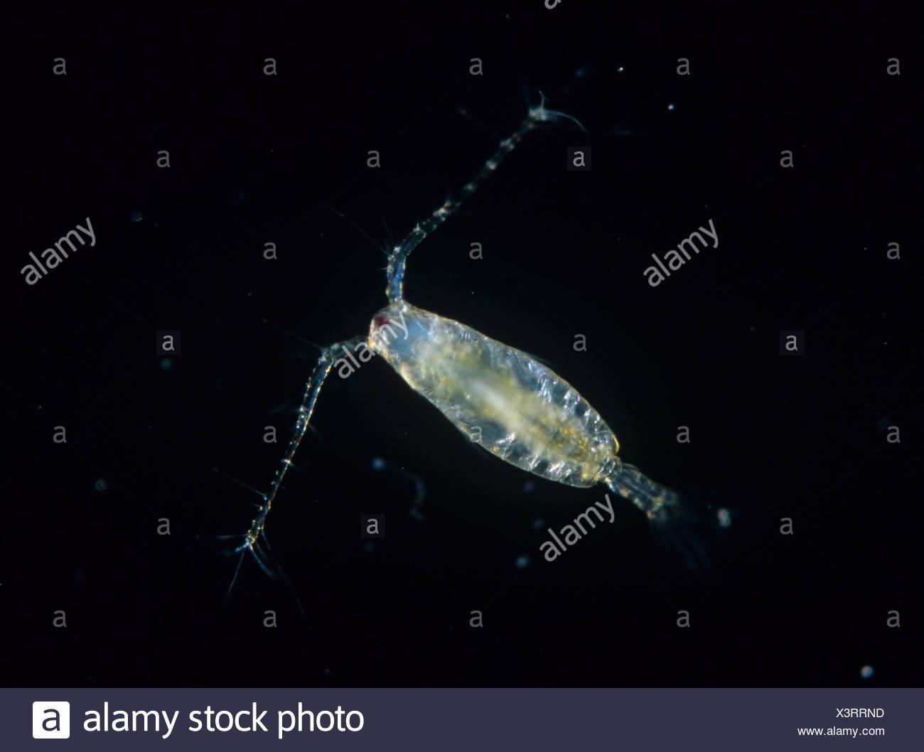 Cyclops Acartia tonsa aquatic animal utilizado en ecotoxicología pruebas Foto de stock