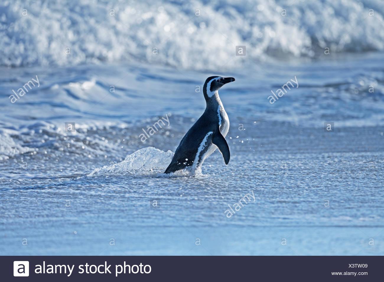 Pingüino de Magallanes (Spheniscus magellanicus) que sale del agua, Sea Lion Island, en el Atlántico Sur, Islas Malvinas Foto de stock