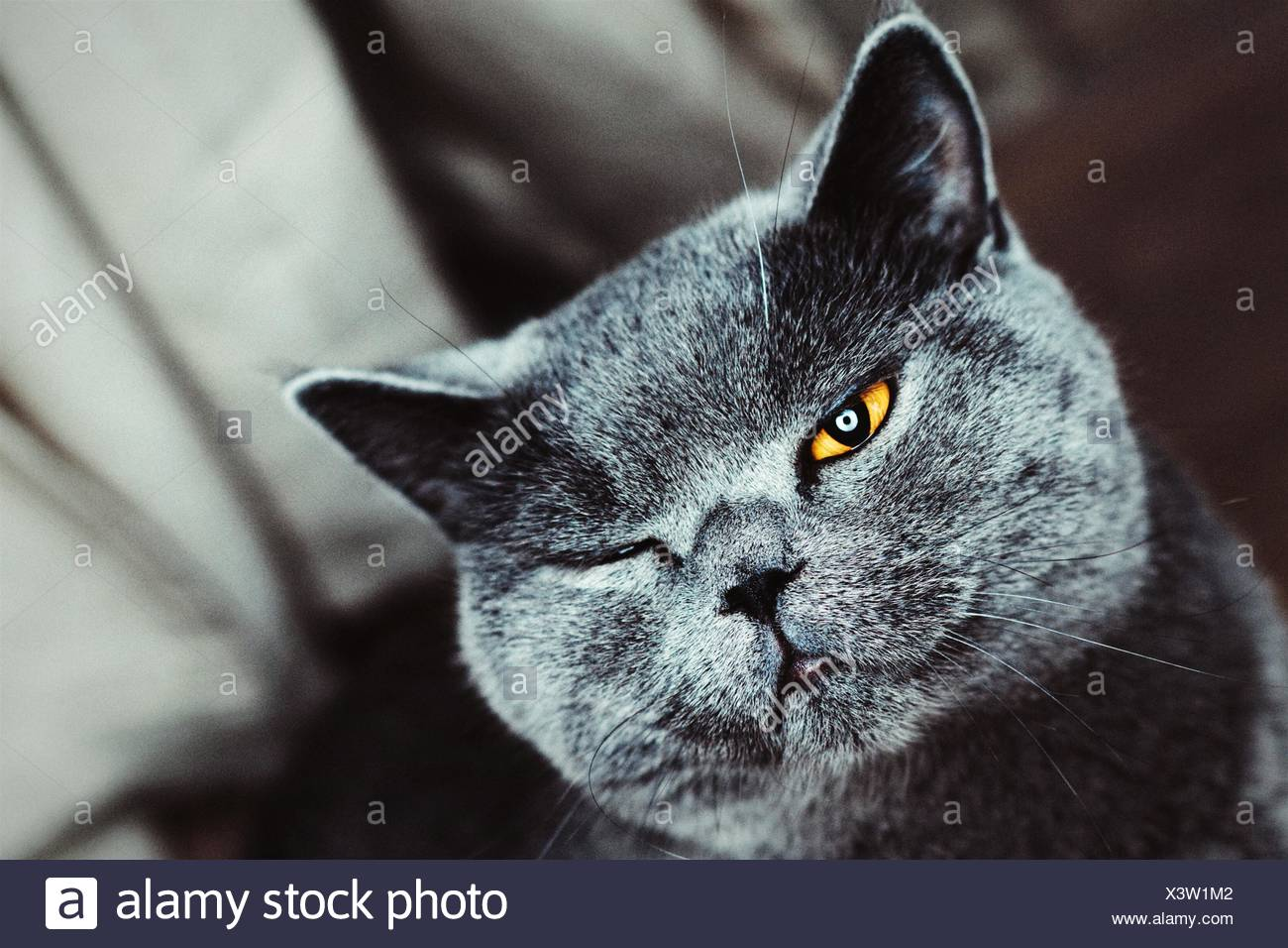 Retrato en primer plano de Chartreux Gato guiño Imagen De Stock