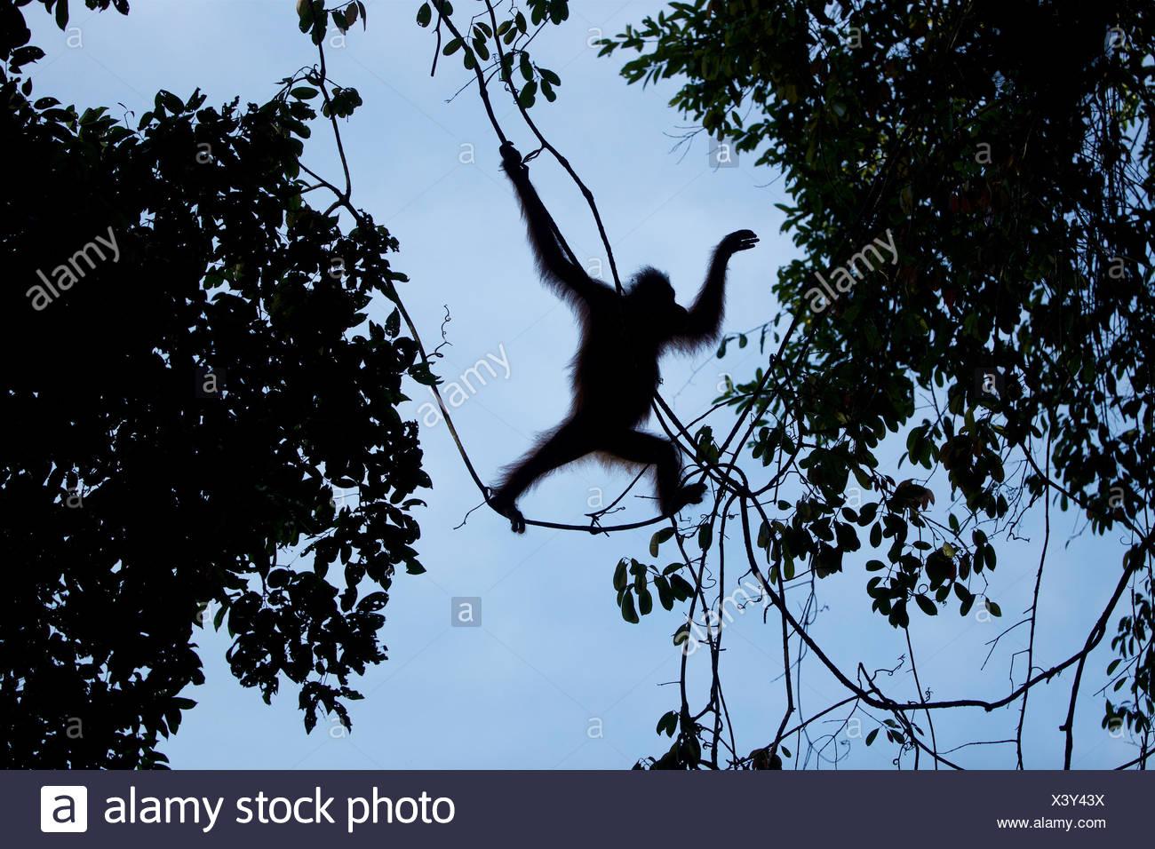 Hembra adulta Bornean, orangután Pongo pygmaeus wurmbii, con una herida en el pie izquierdo, columpios de los árboles en el Parque Nacional Gunung Palung. Imagen De Stock