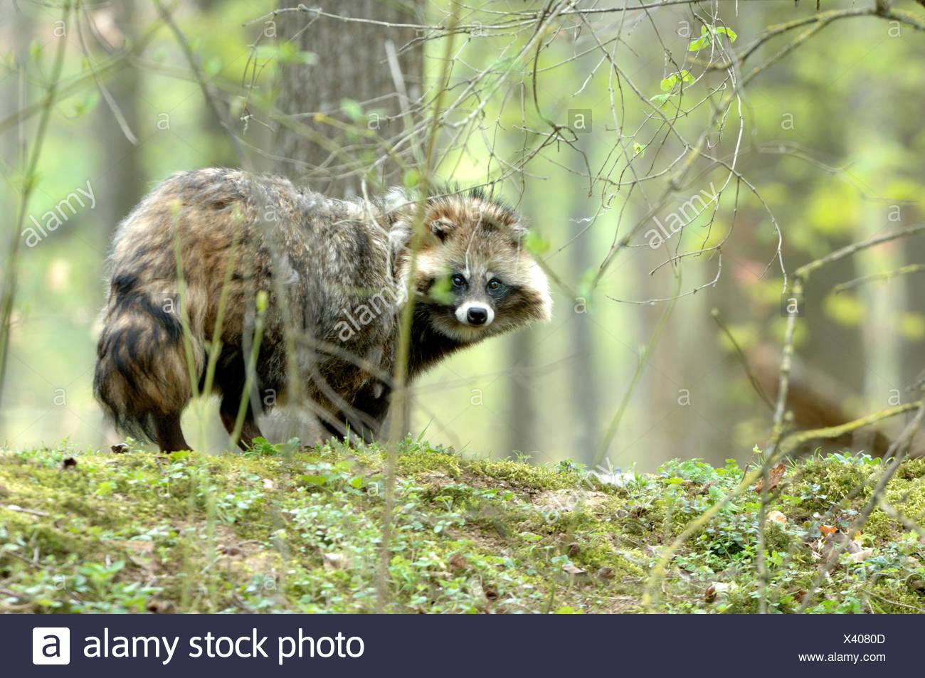 El perro mapache Nyctereutes procyonoides Enok cánidos depredadores primavera inmigraron animales silvestres invasoras animales fur fur huir live Imagen De Stock