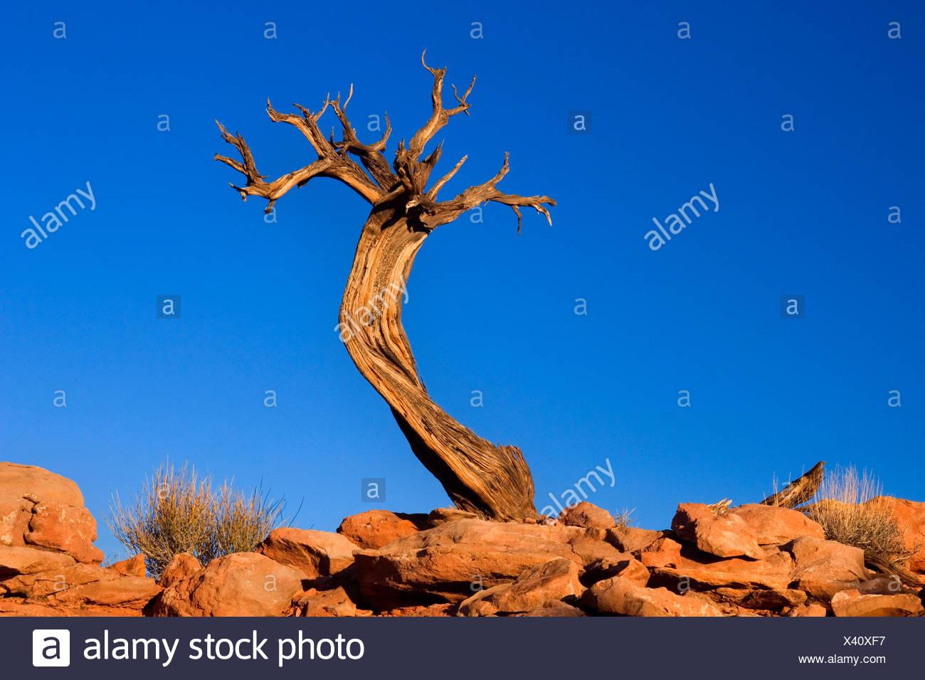 Pinyon (Pinus edulis), muerto poco Pinyon crecen fuera de la tierra rocosa , Estados Unidos, Utah, el Parque Nacional Canyonlands, Isla en el cielo Imagen De Stock