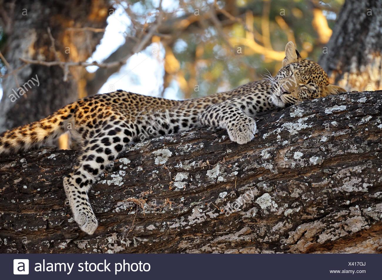 el-leopardo-panthera-pardus-dormir-cub-en-un-arbol-bajo-zambezi-national-park-zambia-x417gj.jpg