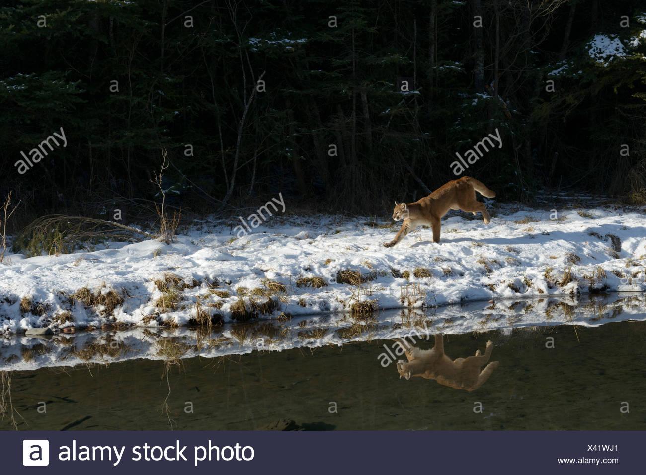 Puma, Puma concolor, Junto estanque afilan en invierno, Montana, EE.UU. Imagen De Stock