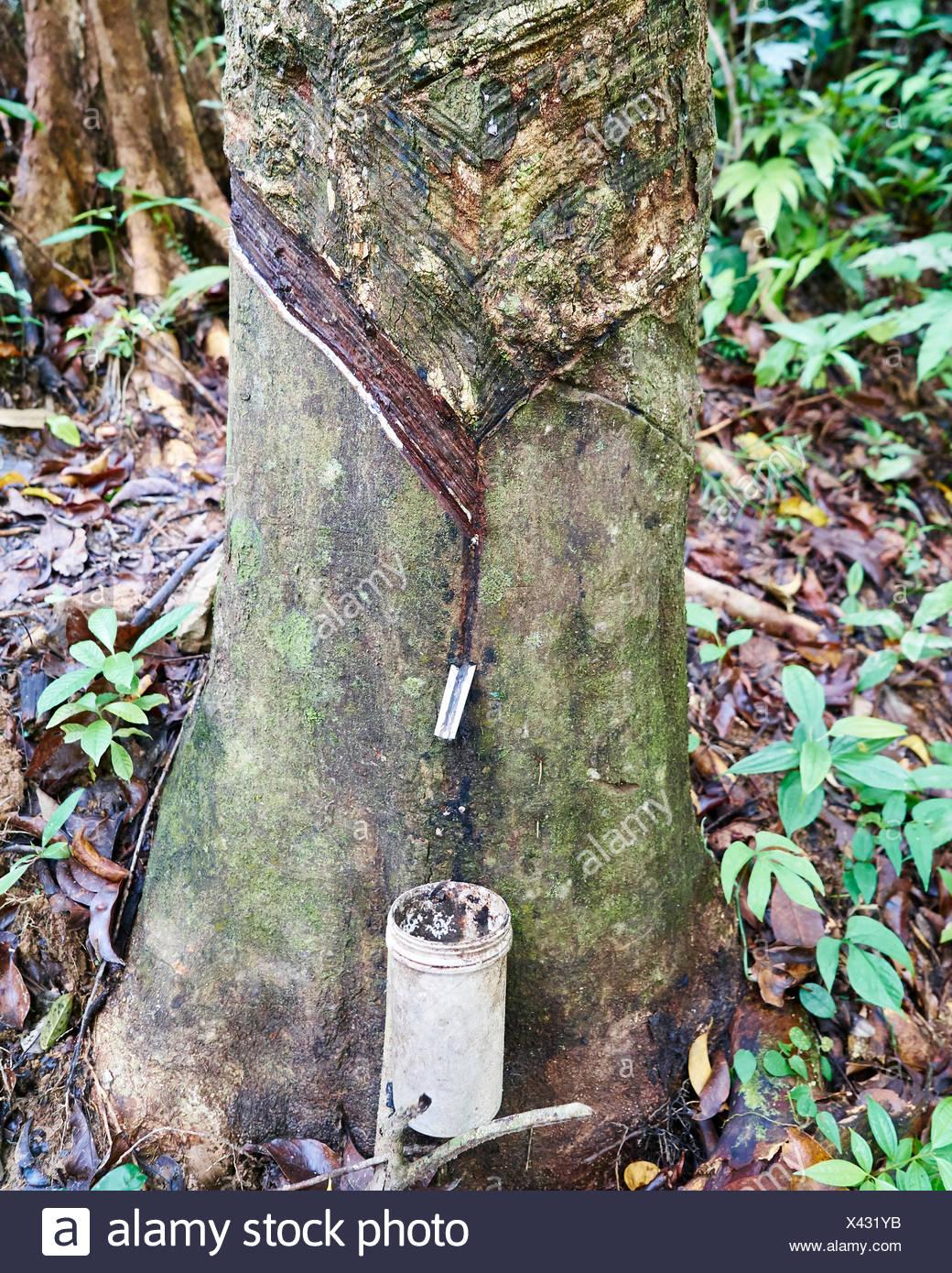 Al tocar un árbol de caucho en la selva Imagen De Stock