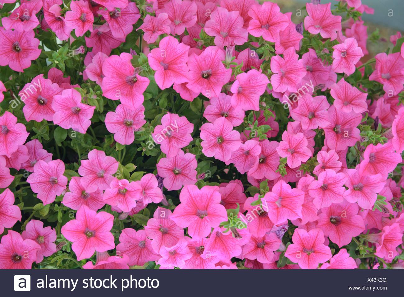Jardín petunia (Petunia 'Hot Pink', Petunia Hot Pink), cultivar Hot Pink, floreciendo Imagen De Stock