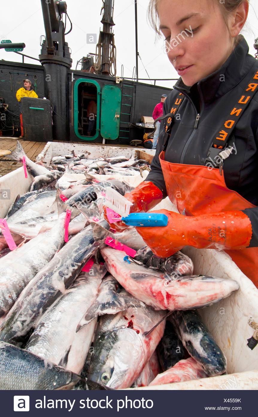 Ocean Beauty Seafoods realiza el control de calidad de los salmones sockeye a bordo de una licitación en la Bahía de Ugashik, Bristol Bay, Alaska Imagen De Stock