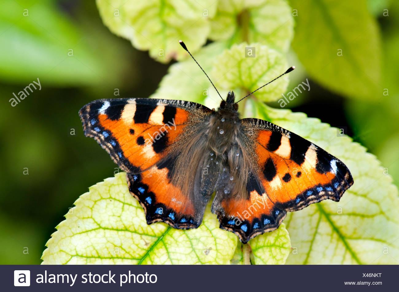 Pequeñas mariposas Tortoiseshell Aglais urticae descansando con las alas abiertas en las hojas en el jardín Foto de stock